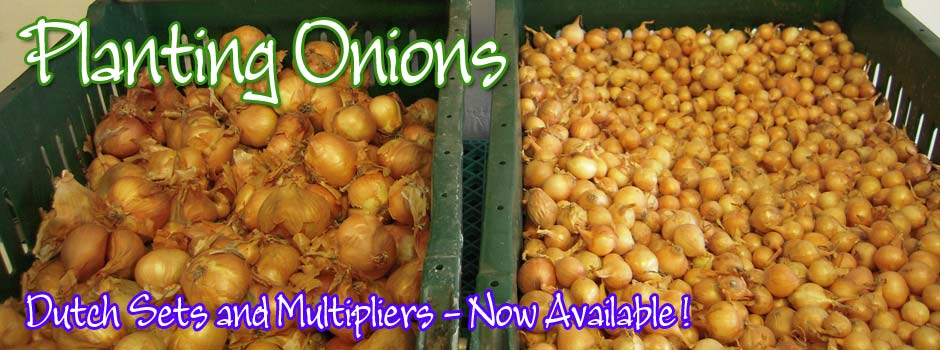 Dutch Sets planting onions for your garden!